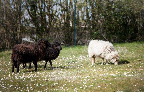Moutons dans une prairie, éco-pâturage